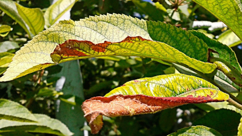 Магниевый хлороз растений