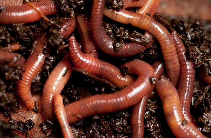 дождевые черви чтобы повысить урожайность