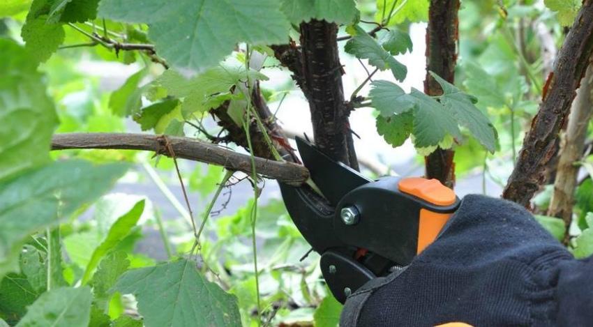Обрезка ягодных кустов в августе