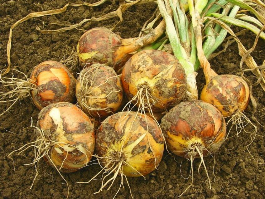 Огород в августе, убираем лук