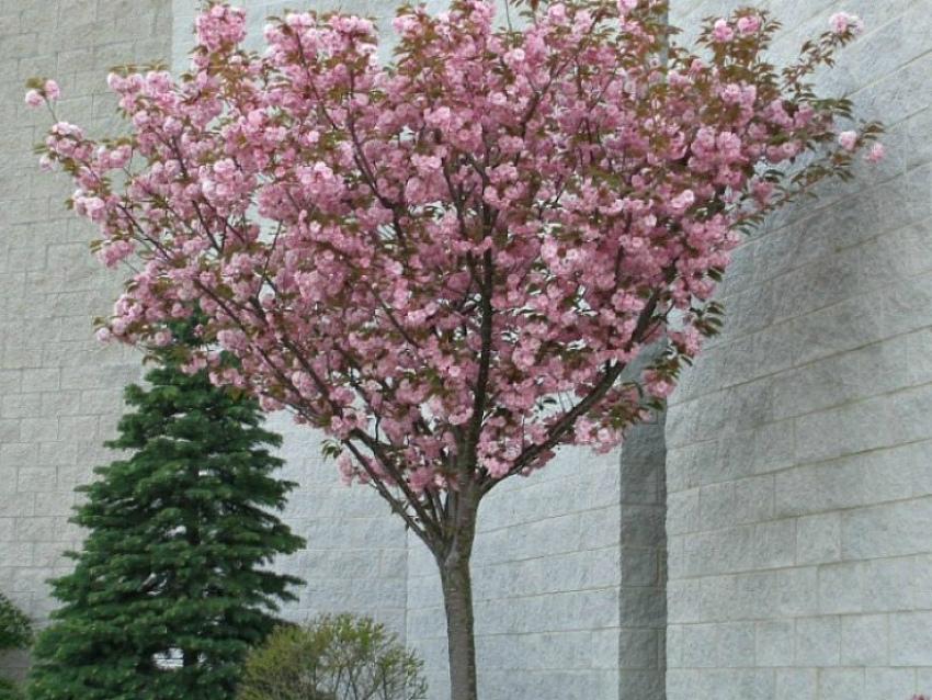 дерево сакура