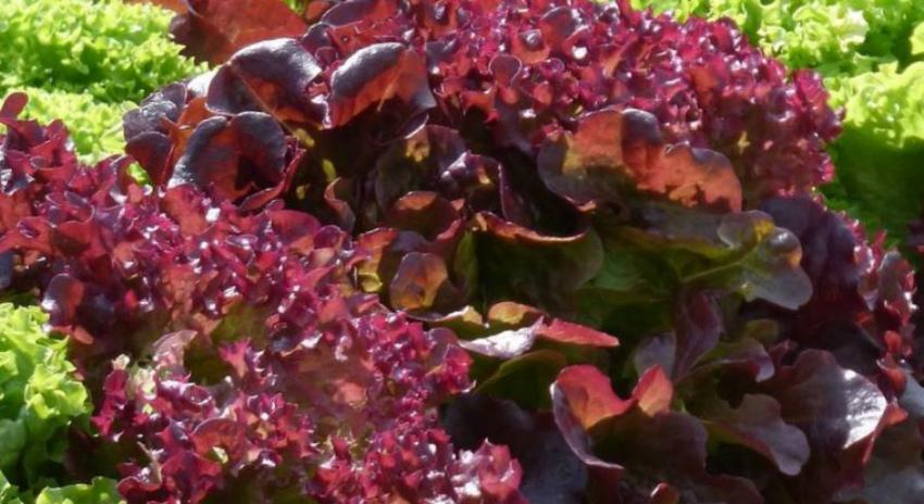Салат листовой Жар-птица