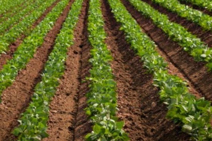 ранний картофель в поле