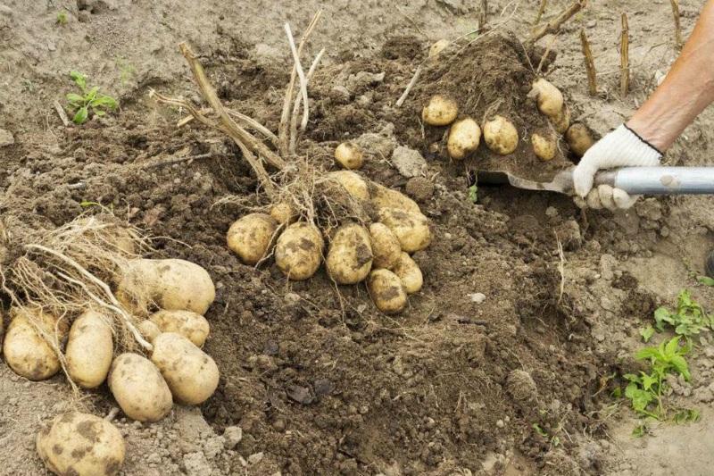 Картофель, готовый к уборке