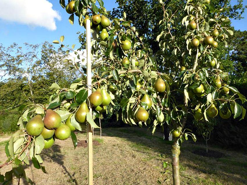 Молодое плодоносящее дерево груши
