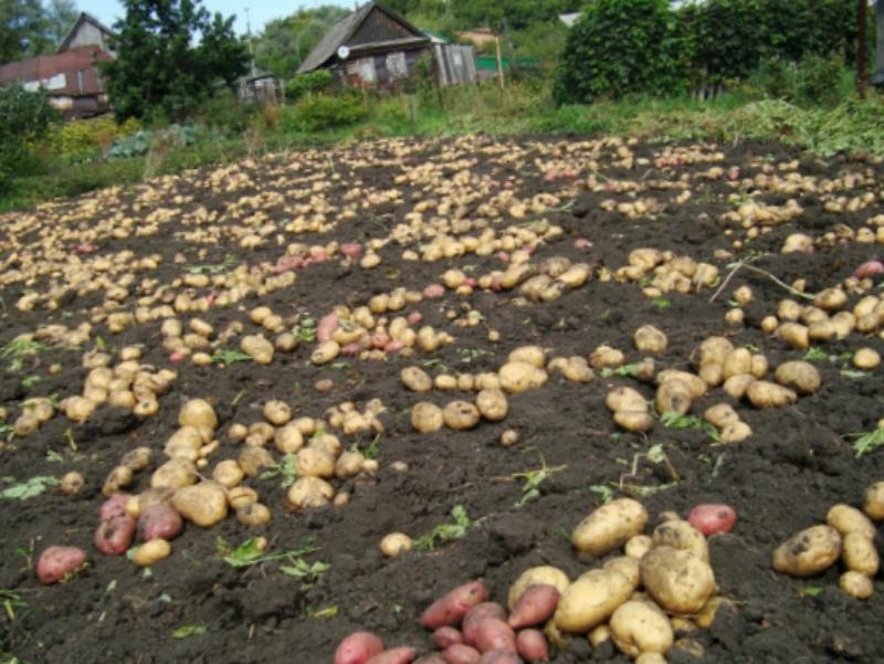 Отменный урожай картошки