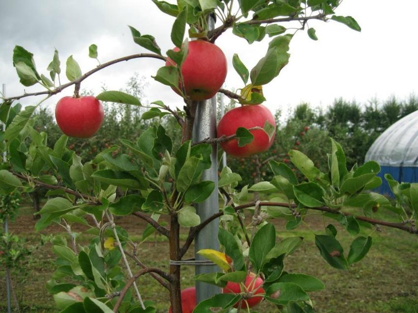 Плодоносящие деревья яблони