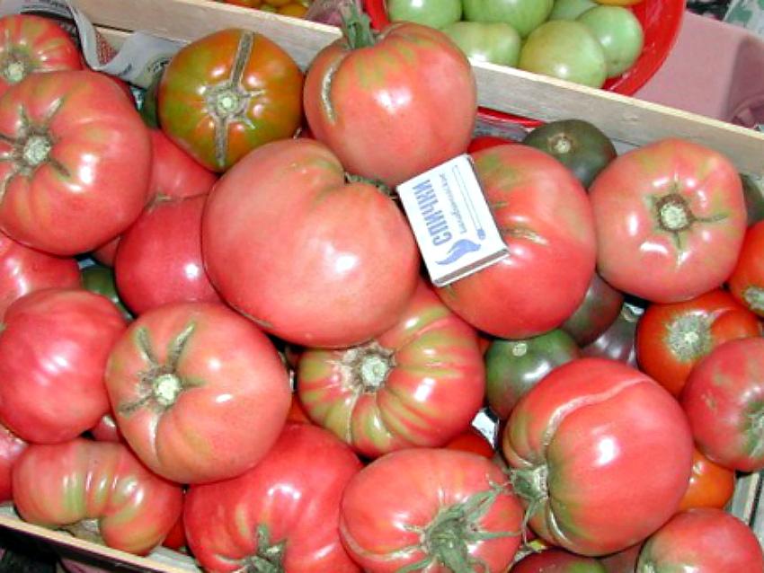 недозрелые помидоры