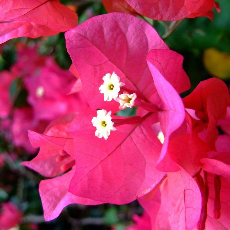 Цветы бугенвиллии