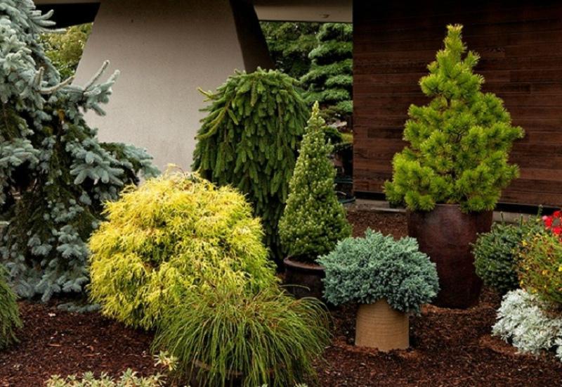 Уход за садом - Хвойники