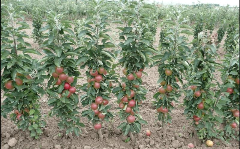 Колоновидный яблоневый сад