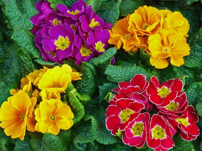 тенелюбивые растения Примула