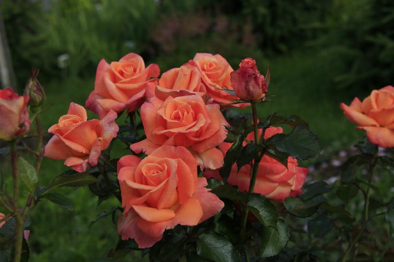 обрезка роз парковая