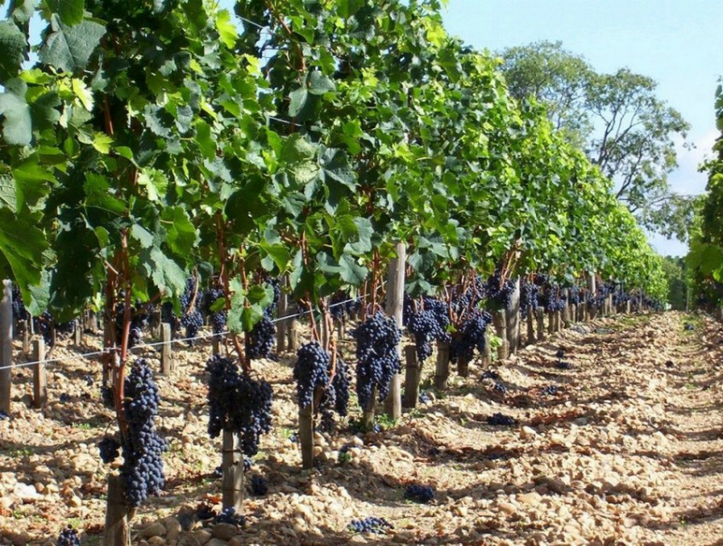 Виноград на столбчатой шпалере