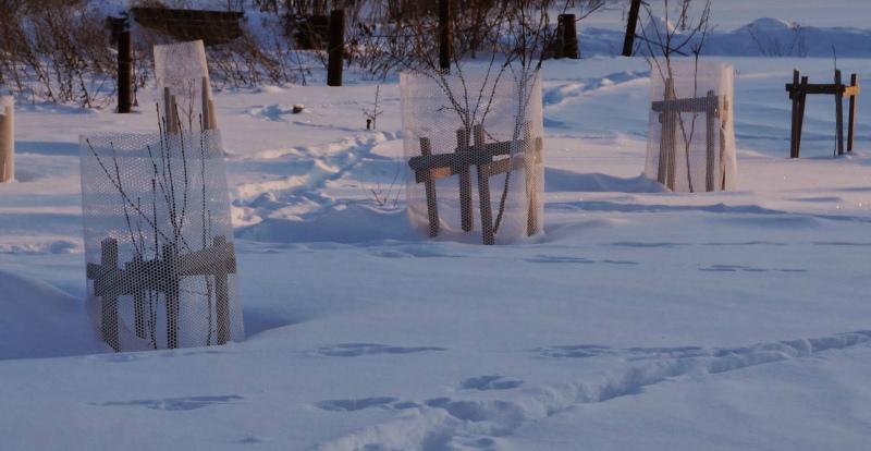 Защита от зайцев зимой