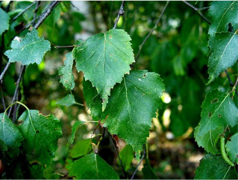 березовые ветви