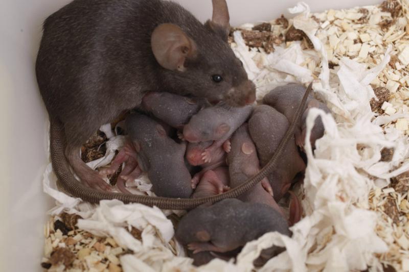 Гнездо крысы
