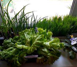 Витаминная зелень в любое время года: огород на подоконнике