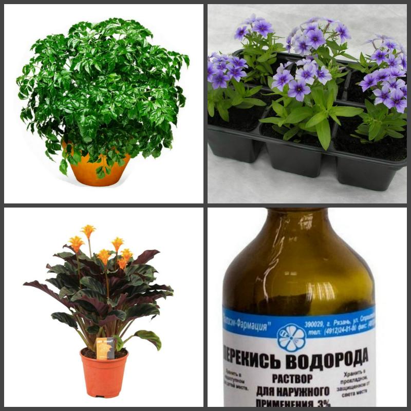 Перекись водорода в цветоводстве