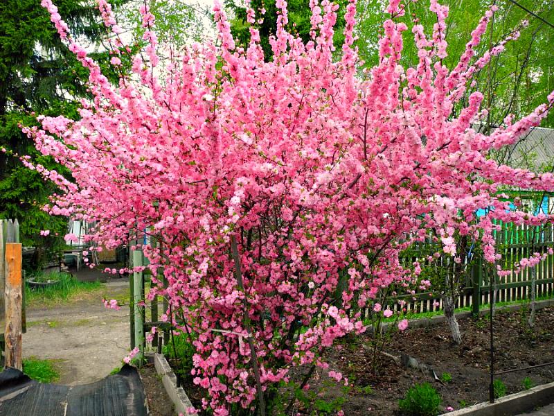Розовая пена цветущего миндаля трехлопастного