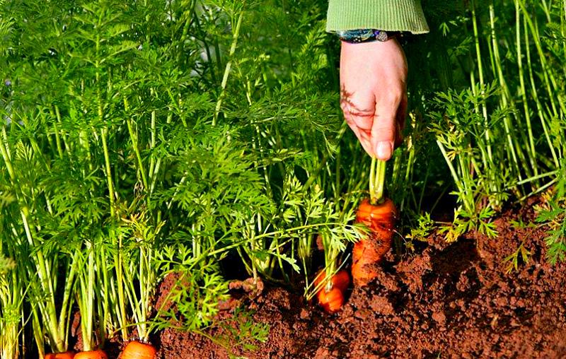 Дачные советы- как вырастить морковь
