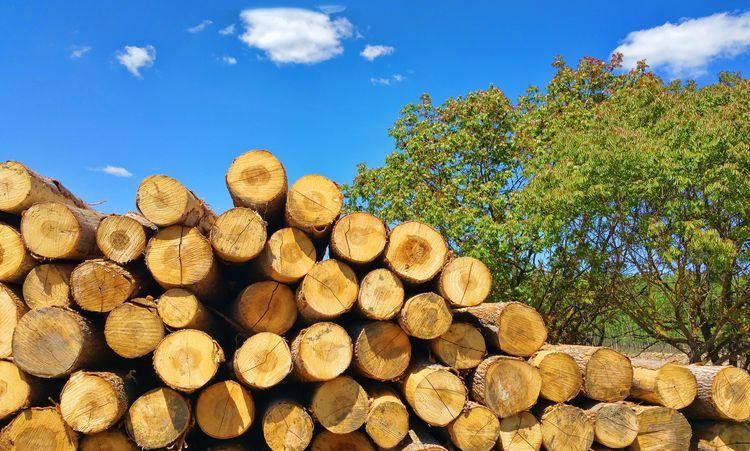 древесина тополя
