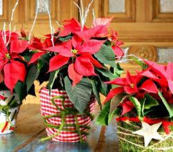Что делать с пуансетией после рождественских праздников