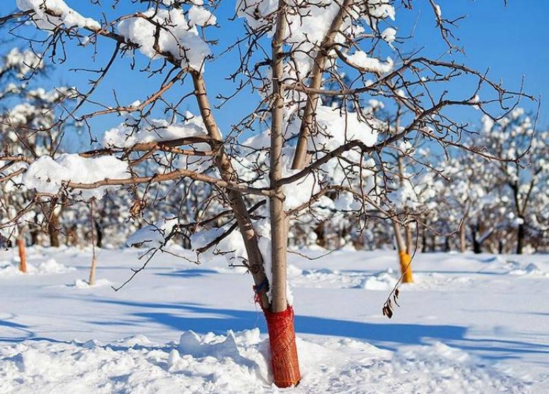 Работы в январе- притаптываем снег под яблонями